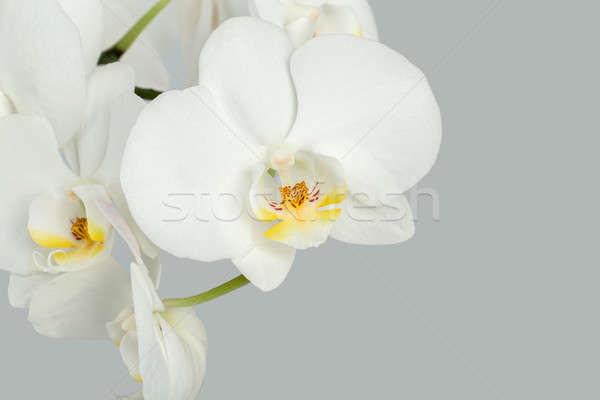 Branch of white orchid on grey background Stock photo © artush