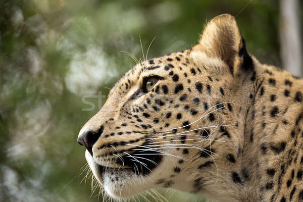 head shot of Persian leopard Stock photo © artush