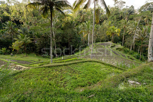 Stock photo: Rice terraced paddy fields in Gunung Kawi