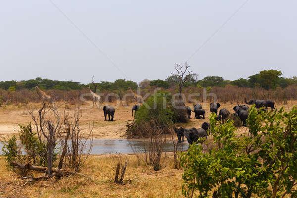 Nyáj afrikai elefántok iszik sáros park Stock fotó © artush