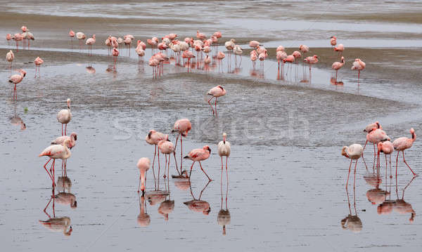 Rosy Flamingo colony in Walvis Bay Stock photo © artush