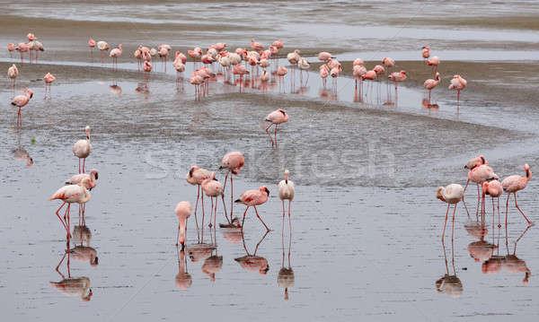 розовый фламинго колония огромный Намибия пустыне Сток-фото © artush