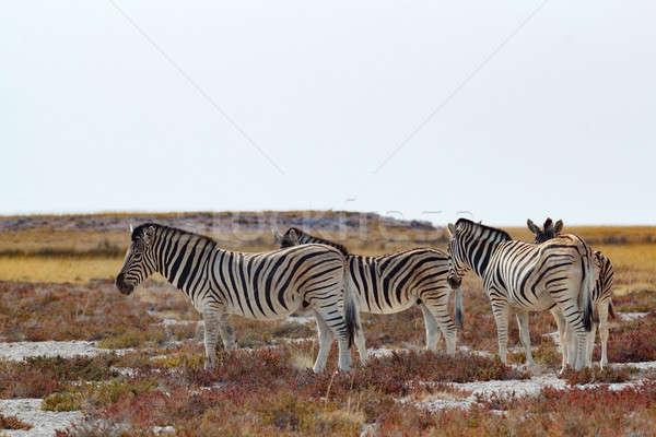 Nyáj zebra afrikai bokor park Namíbia Stock fotó © artush