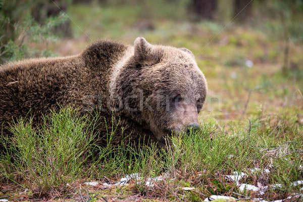 brown bear (Ursus arctos) in winter forest Stock photo © artush