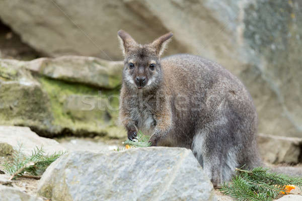 Closeup of a Red-necked Wallaby Stock photo © artush