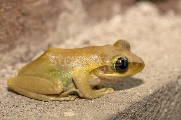 Beautiful small frog Boophis rhodoscelis Madagascar Stock photo © artush