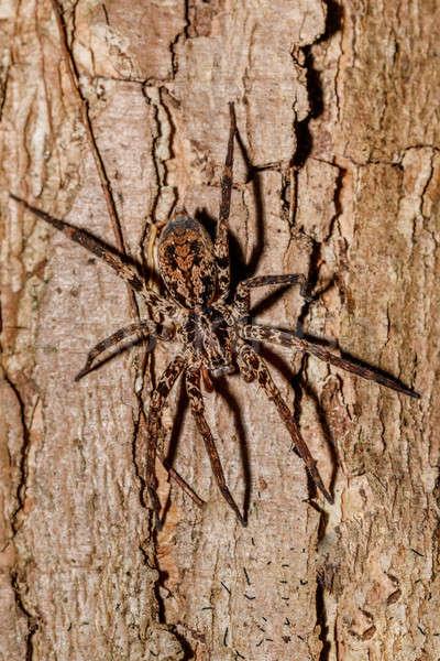 Pók fatörzs Madagaszkár család kíváncsi park Stock fotó © artush