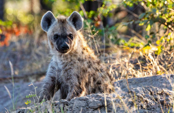 Stripped hyena, Botswana Africa wildlife Stock photo © artush