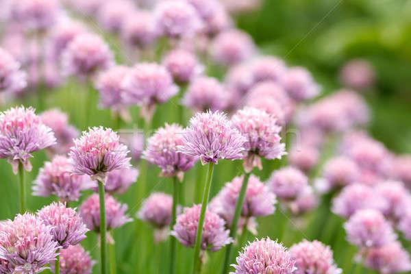 Allium Schoenoprasum known as Chives Stock photo © artush