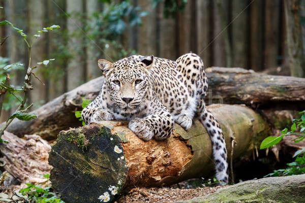 Snow Leopard Irbis (Panthera uncia) looking ahead Stock photo © artush