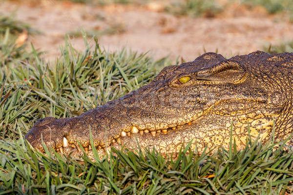 Portrait of a Nile Crocodile Stock photo © artush