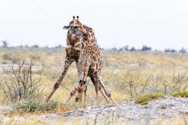 two Giraffa camelopardalis near waterhole Stock photo © artush