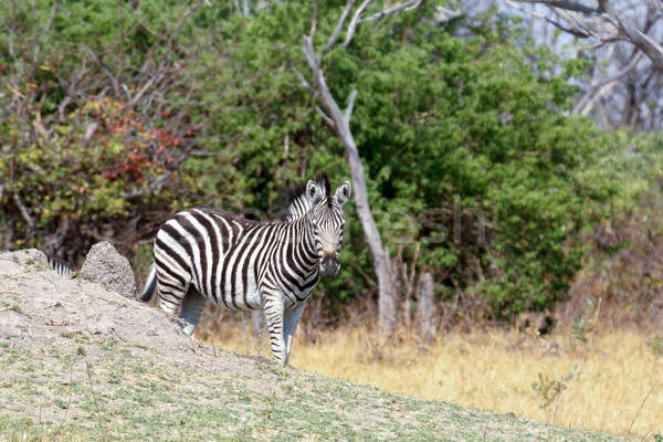 Zebras in african bush Stock photo © artush