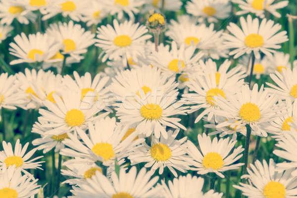 Kicsi százszorszép virág retro szín zöld Stock fotó © artush