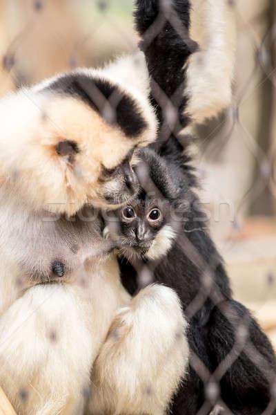 Yellow-cheeked gibbon (Nomascus gabriellae) Stock photo © artush