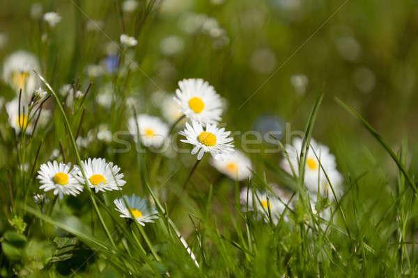 Kicsi százszorszép virág zöld vidéki legelő Stock fotó © artush