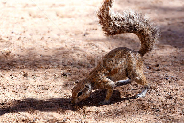 Stock photo: South African ground squirrel Xerus inauris