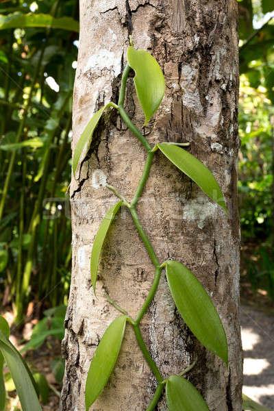 Vers vanille bladeren boom bestanddeel alle Stockfoto © artush