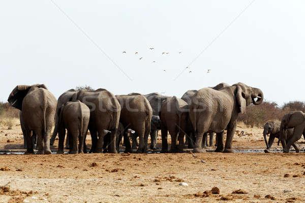 herd of African elephants at a waterhole Stock photo © artush
