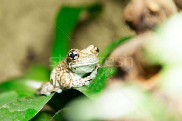 Amazon süt kurbağa amazon Stok fotoğraf © artush