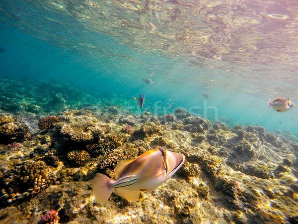 Korall hal Vörös-tenger Egyiptom elöl kert Stock fotó © artush