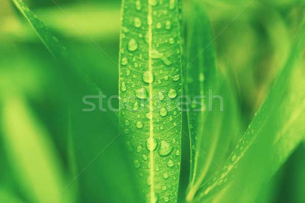 Foto stock: Gotas · de · água · verde · planta · folha · macro · naturalismo