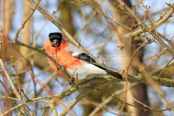beautiful small bird common bullfinch in winter Stock photo © artush