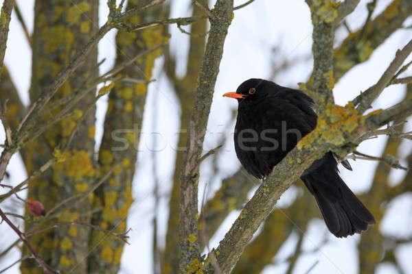 male of Common black bird in winter Stock photo © artush
