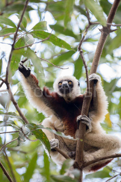 Stock photo: Coquerel's sifaka (Propithecus coquereli) Madagascar
