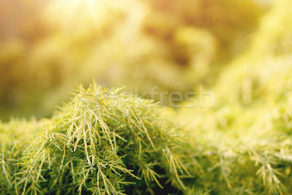 conifer with shallow focus for background Stock photo © artush