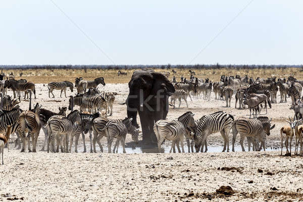 African elephant drinking together with zebras and antelope at a Stock photo © artush