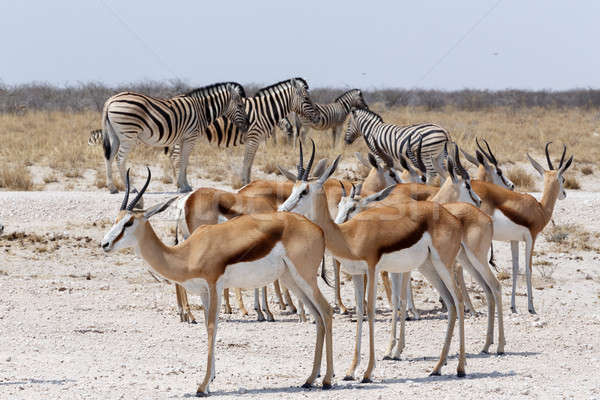 Stock photo: herd of springbok and zebra in Etosha