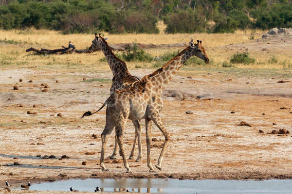 Giraffa camelopardalis drinking in national park, Hwankee Stock photo © artush