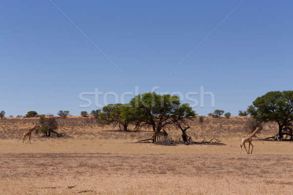 Giraffa camelopardalis in african bush Stock photo © artush