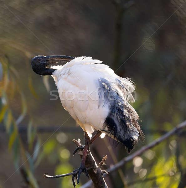 Oriental black White (Black-headed) Ibis Stock photo © artush