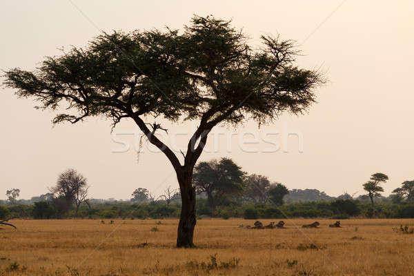 アフリカ 日没 公園 グループ 北 ジンバブエ ストックフォト © artush