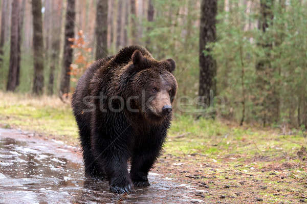 Invierno forestales grande masculina Europa Foto stock © artush