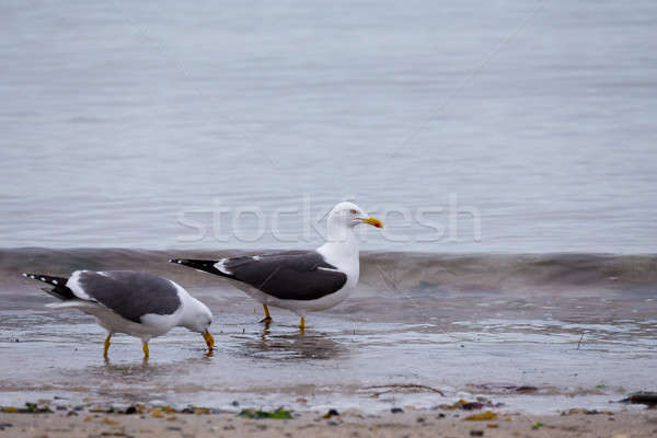 European Herring Gulls, Larus argentatus Stock photo © artush