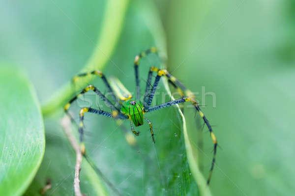 Malagasy green lynx spider (Peucetia madagascariensis) Stock photo © artush