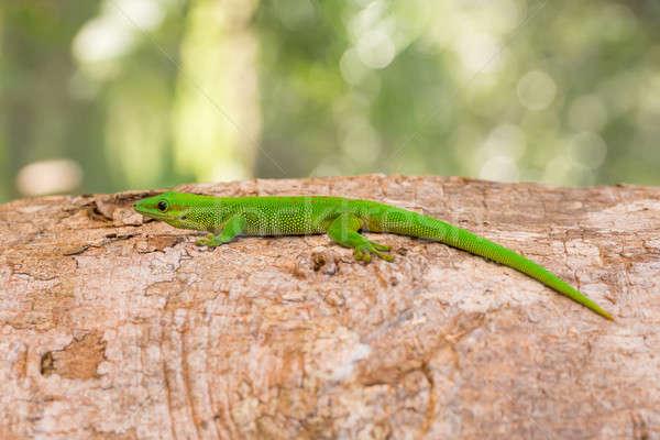 種 日 ヤモリ マダガスカル 自然 生息地 ストックフォト © artush