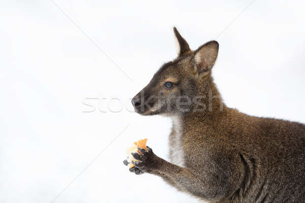 Red-necked Wallaby in snowy winter Stock photo © artush