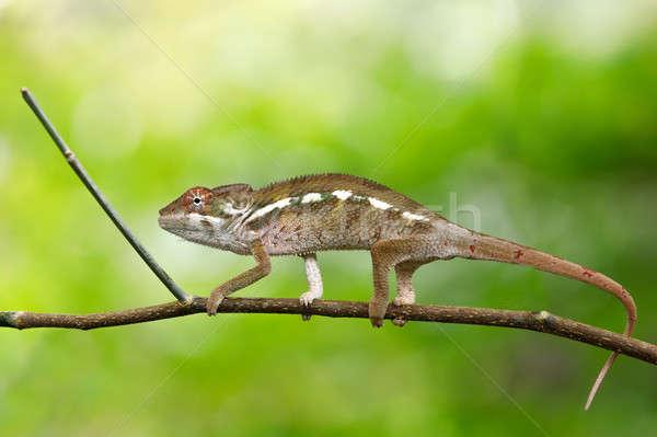 beautiful panther chameleon, Madagascar Stock photo © artush