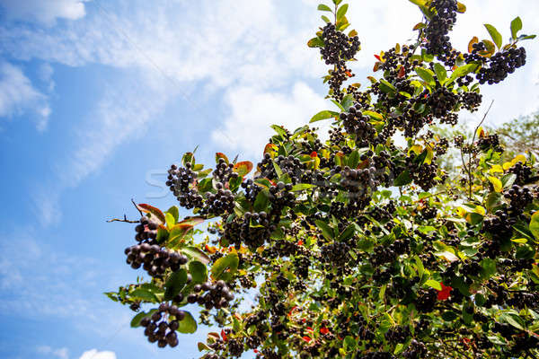 fresh fruits of black chokeberry (aronia)  Stock photo © artush