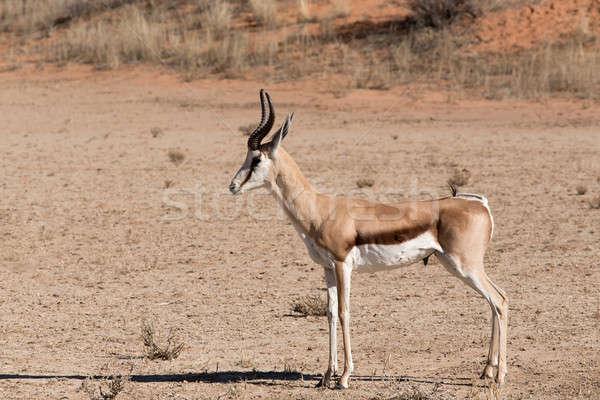 Springbok Antidorcas marsupialis in Kgalagadi Stock photo © artush