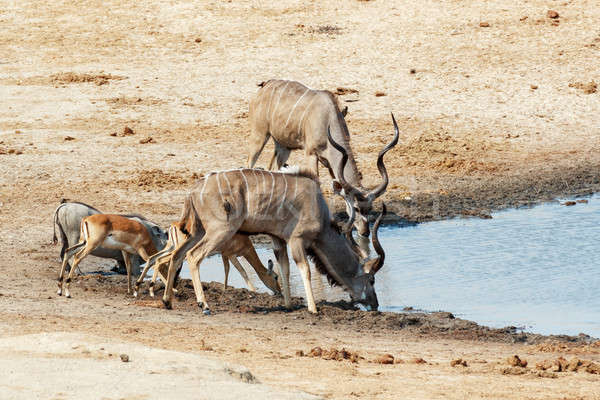 Potable boueux autre animaux parc Botswana Photo stock © artush