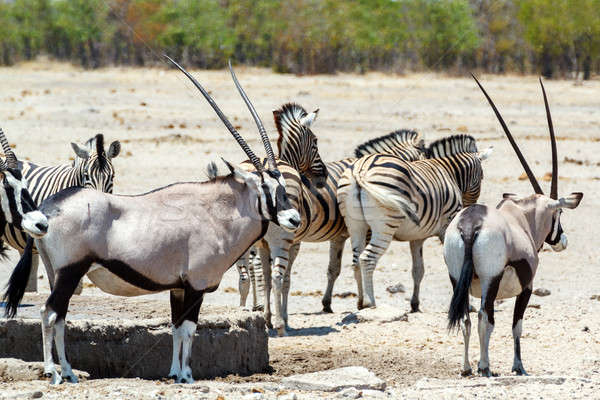 Oryx gazella and zebra in etosha Stock photo © artush