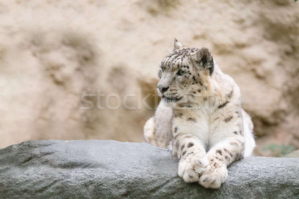 snow leopard, Irbis Uncia uncia Stock photo © artush