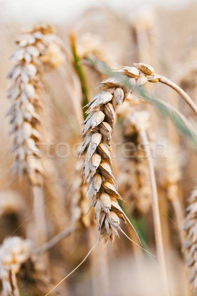 Złoty pole pszenicy lata czasu wiejskie sceny Zdjęcia stock © artush