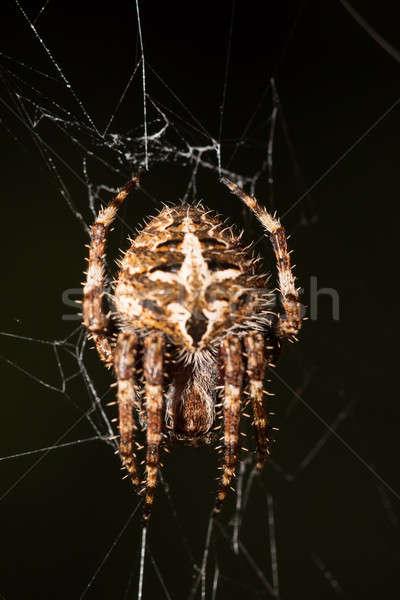 Darwin's bark spider (Caerostris darwini) Madagascar Stock photo © artush
