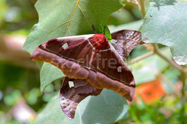 Grande borboleta imperador Madagáscar raro espécies Foto stock © artush
